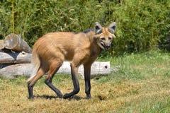 草有鬃毛的走的狼 免版税库存图片