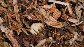 草本医学pugongying或taraxaci草或蒙古蒲公英草本转动和停留 影视素材