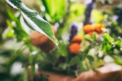 草本和一滴雨珠品种在叶子 免版税库存图片