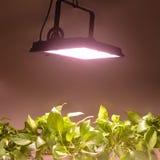 草本增长与被带领的植物成长光自温室 免版税库存照片