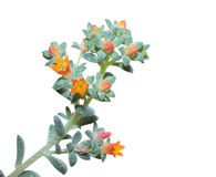 草本多年生植物 免版税库存照片