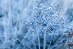 草本家庭伞状花的报道的霜 图库摄影