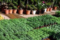 草本幼木在植物托儿所 免版税库存图片