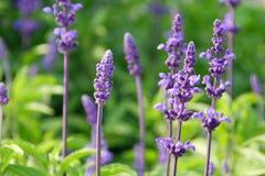 草本淡紫色 库存图片