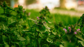 草本的医学 Pulmonaria 背景蒲公英充分的草甸春天黄色 免版税图库摄影