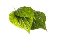 草本的Leafbush和医学 免版税库存照片
