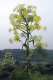 草本种属的大茴香 免版税库存照片