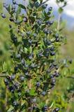 草本种属的桃金娘属,共同的加州桂 库存图片