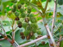 草本种属的蓖麻-在词根的蓖麻子 库存图片