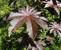草本种属的rincus 库存照片