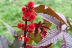 草本种属蓖麻的特写镜头蓖麻子或铸工油植物 库存图片