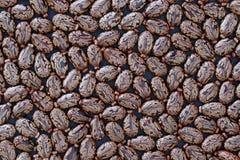 草本种属蓖麻籽的蓖麻种子-背景 免版税库存图片