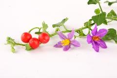 草本茄属trilobatum用果子, 库存照片