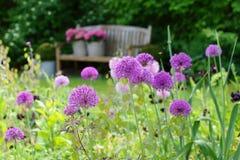 草本边界以葱属紫色感觉 库存图片