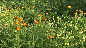 草本金盏草和春黄菊花在农村农厂房子庭院里增长 4K 影视素材