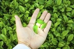 草本,绿茶,背景,风景 免版税库存图片