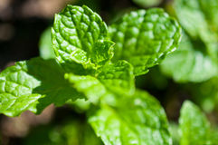 草本,绿色叶子特写镜头在绿色叶子庭院/宏指令里在森林里 免版税库存图片