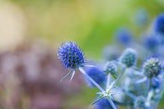 医治草本 刺芹属植物planum 蓝色海,紫罗兰色 图库摄影