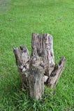 草树桩结构树 图库摄影