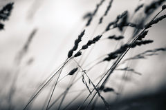 草植物剪影 免版税图库摄影