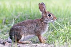 草沼泽兔子 免版税库存图片