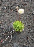 草灌木在火山岩和灰中增长 免版税库存图片