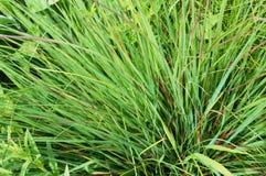 绿草灌木 库存图片