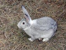 草灰色兔子 免版税库存照片