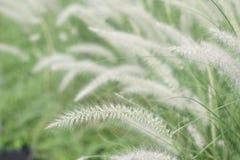草甸丛白色草在庭院软的焦点 免版税库存照片