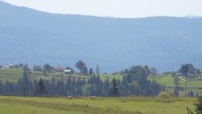 草甸和母牛在山中间 影视素材
