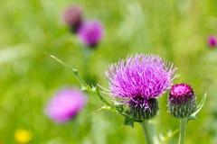 草甸和蓟花在初夏 库存图片
