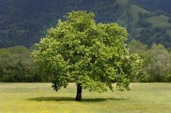 草甸唯一春天结构树 图库摄影