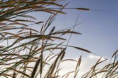 草甸在冬天开花草有天空日落背景 免版税图库摄影