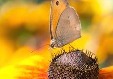 草甸在黄金菊花的布朗蝴蝶 库存图片