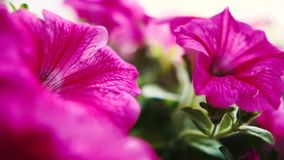 草甸大紫罗兰色美丽花卉生长在夏天在slo mo