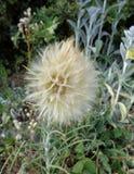 草甸婆罗门参-直线叶香草pratensis - Eutopia庭院- Arad,罗马尼亚 免版税库存照片