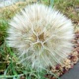 草甸婆罗门参-直线叶香草pratensis - Eutopia庭院- Arad,罗马尼亚 库存图片