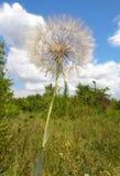 草甸婆罗门参-直线叶香草pratensis - Eutopia庭院- Arad,罗马尼亚 免版税库存图片