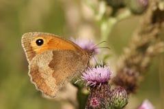 草甸布朗蝴蝶, Maniola jurtina的一张侧视图, nectaring在与它的翼的一株蓟关闭了 免版税图库摄影