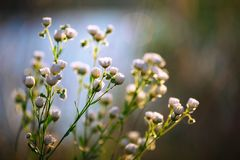草甸开花在晴天的雏菊花 免版税库存照片