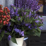 草甸开花羽扇豆,毛茛,会开蓝色钟形花的草 免版税库存照片