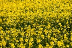 草甸强奸黄色开花关闭阳光春天 库存图片