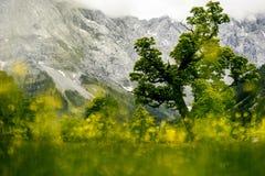 草甸提洛尔春天英国槭树ahornboden 库存照片