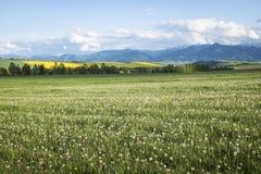 草甸用白色蒲公英 图库摄影