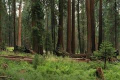 草甸美国加州红杉 库存照片