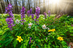 草甸花在春天森林里 免版税库存照片