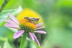 草甸蚂蚱Chorthippus parallelus 一只棕色蚂蚱的宏观照片坐海胆亚目东部purpurea的花 库存照片