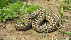 草甸蛇蝎 库存图片