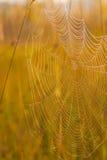 草甸蜘蛛日出万维网 库存图片