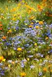 草甸野花 库存图片